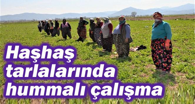 HAŞHAŞ TARLALARINDA HUMMALI ÇALIŞMA!..
