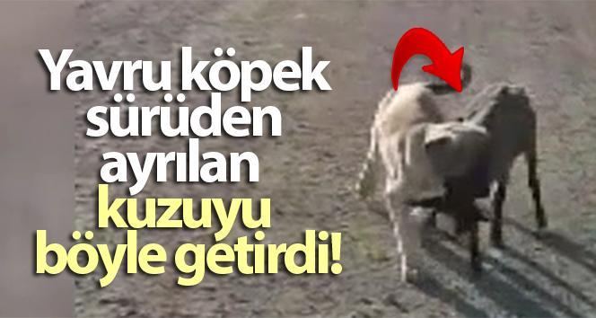 SÜRÜDEN AYRILAN KUZUYU YAVRU KÖPEK BÖYLE GETİRDİ!..