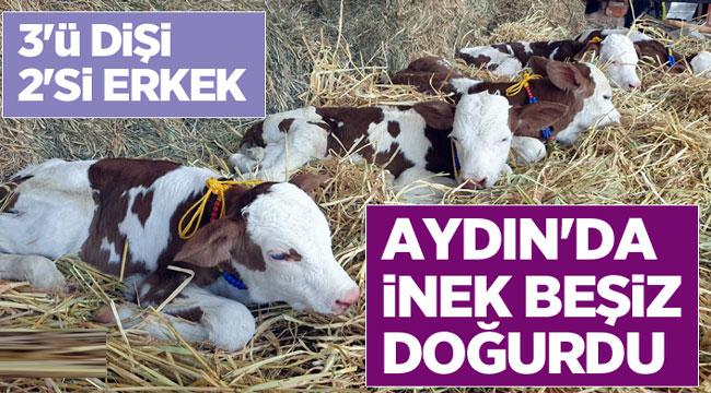 TÜRKİYE'DE İLK: İNEK BEŞİZ DOĞURDU!..