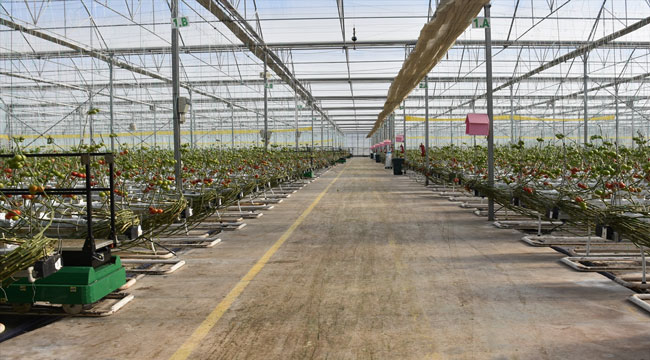Jeotermal seralarda üretilen domatesler yurt dışına gönderiliyor