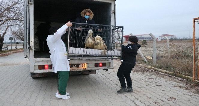 AKÜ'de tedavisi tamamlanan 9 yabani hayvan Ormanya doğal yaşam parkına gönderildi