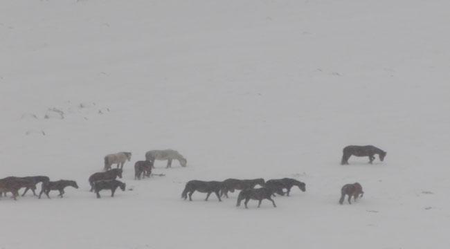 Akdağ'da yılkı atlarının doğayla mücadelesi!..