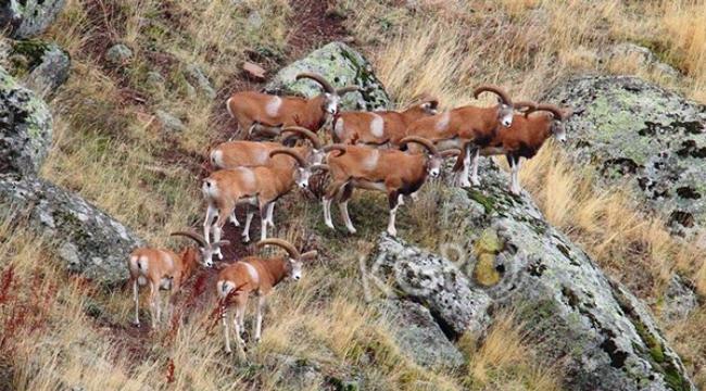 Afyon'daki Anadolu yaban koyunlarına yemleme çalışması yapıldı