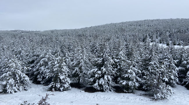 Beyaz örtülü çam ağaçları büyüledi