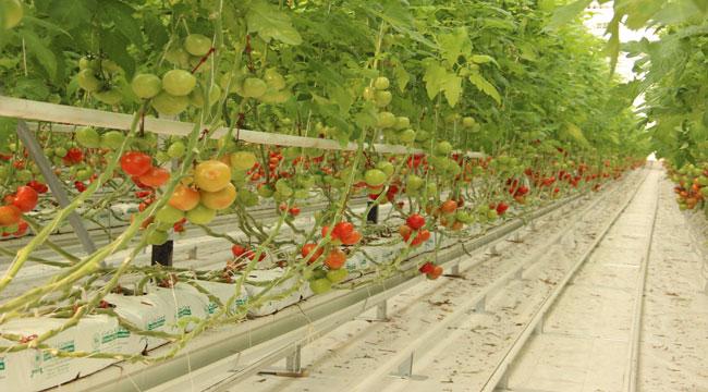 İhracatlık domates üreticinin yüzünü güldürdü