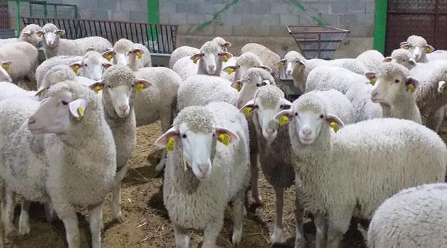 Afyonlu genç girişimci, Merinos ırkı koyun yetiştiriciliğini yaygınlaştırmayı hedefliyor