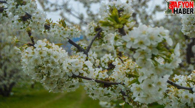 Afyon'da çiçeklenen kiraz ağaçları görsel şölen oluşturuyor