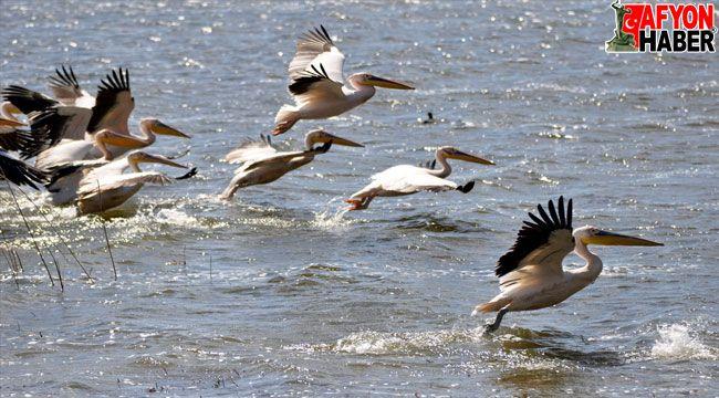 Frigya'ya gelen pelikanlar güzel görüntüler oluşturdu