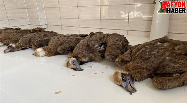 İhsaniye'de koruma altındaki 7 kara akbaba, zehirli et verilerek öldürüldü