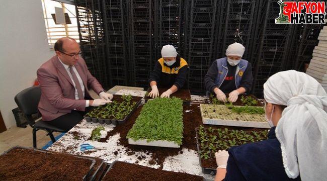 Sandıklı Jeotermal Çiçek Serasında, yerel ürünler tohum üretimi başladı
