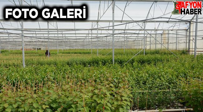 Afyon'da jeotermal ısıtmalı serada üretilen meyve fidanları, yurt dışına gönderiliyor