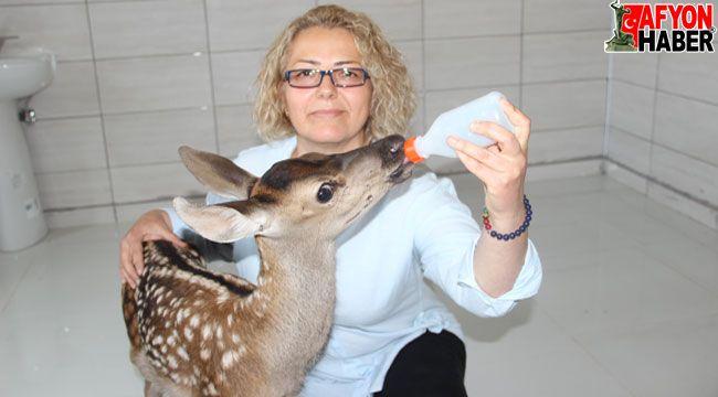 Tedavisi tamamlanan minik geyik biberonla besleniyor