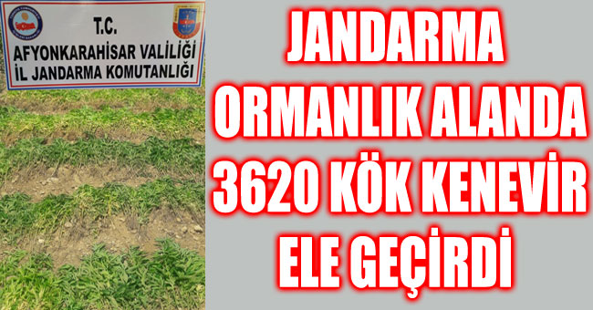 JANDARMA ORMANLIK ALANDA 3620 KÖK KENEVİR ELE GEÇİRDİ